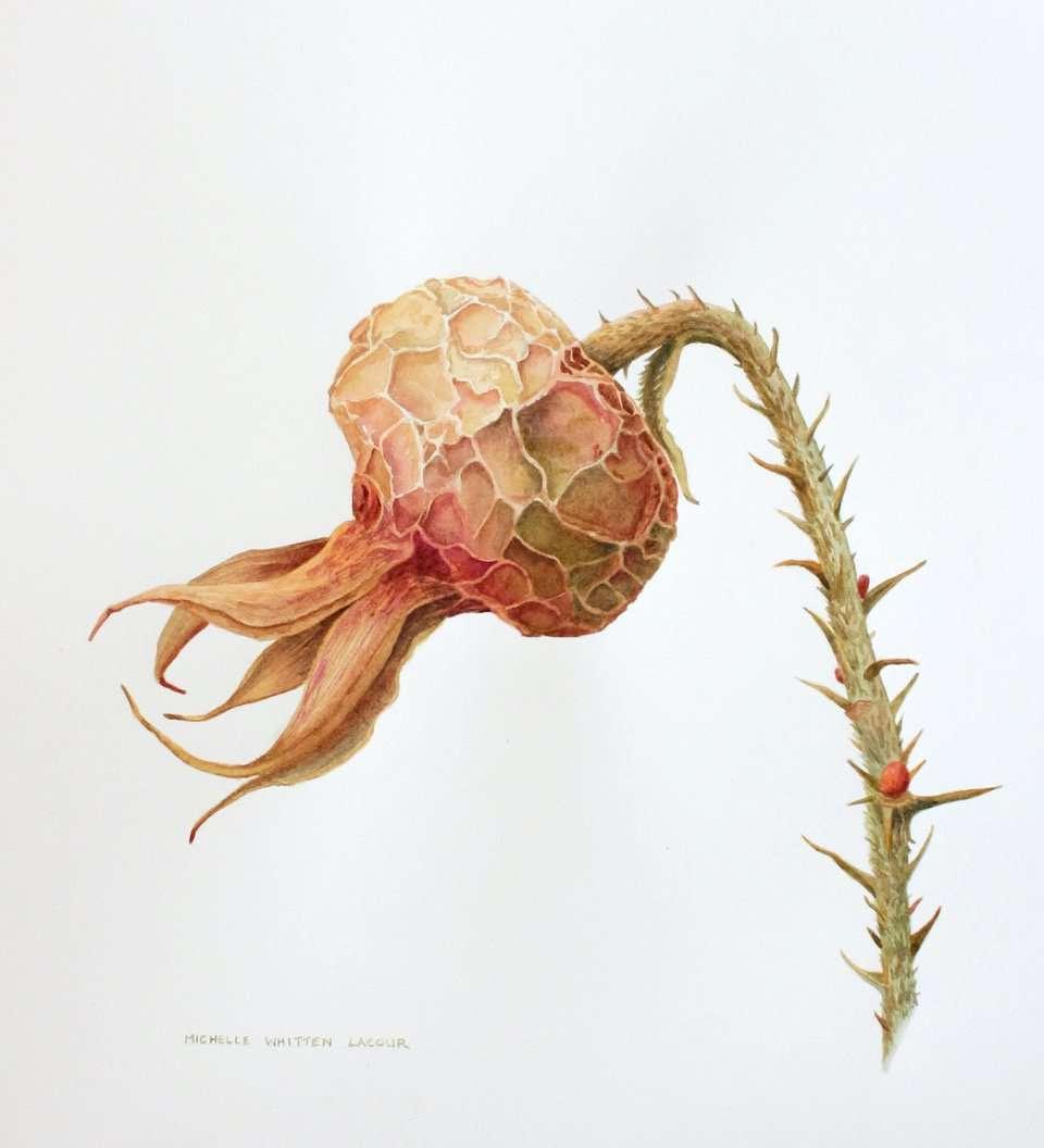 Dried Rose Hip | Michelle Whitten LeCour