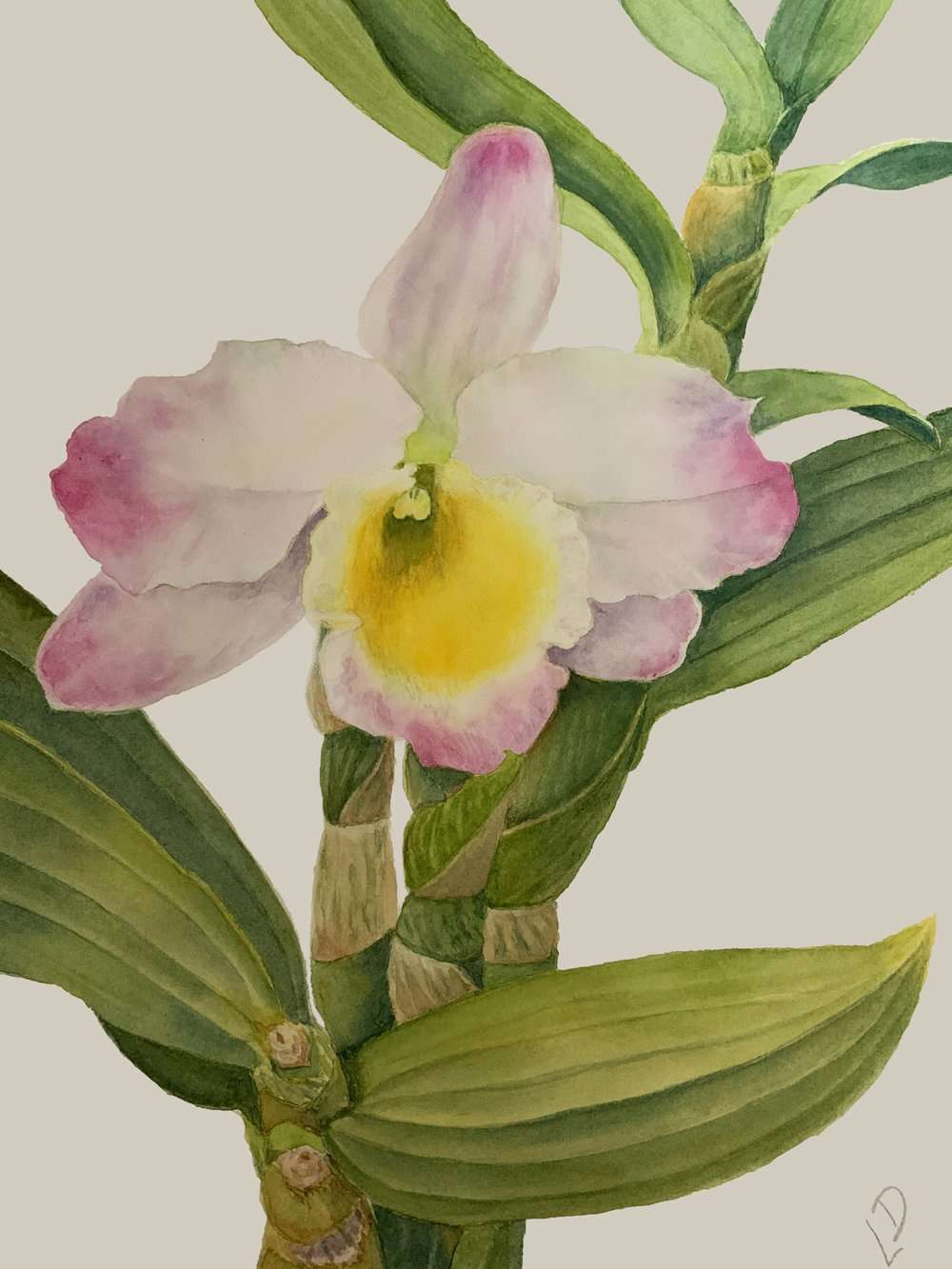 Orchid | Linda Drover