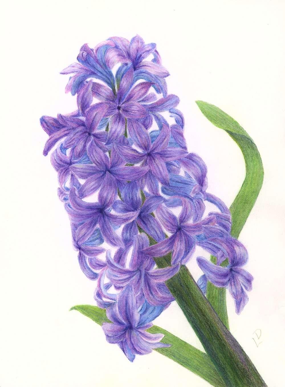 Hyacinth | Linda Drover